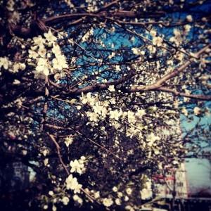 Какая-нибудь черешня цветет. 22 марта 2014.