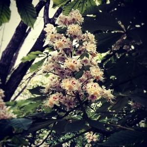 Так цветут каштаны! 29 апреля 2014.