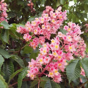 Розовые каштаны в цвету